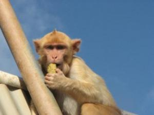 Monkeys also have tendency to win streaks, study shows