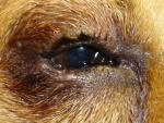 Entropion : Abnormal Eyelid in Dogs Symptoms , Diagnosis and Treatment