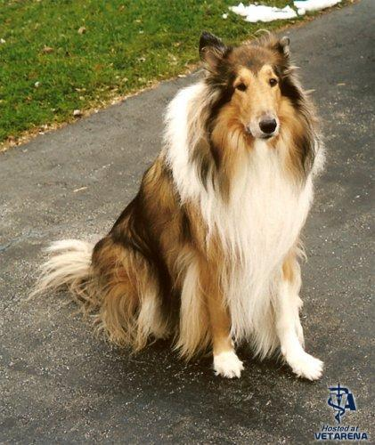 Collie breed Photo
