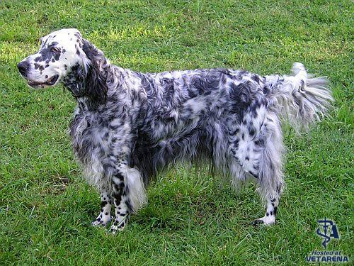 English Setter breed Photo
