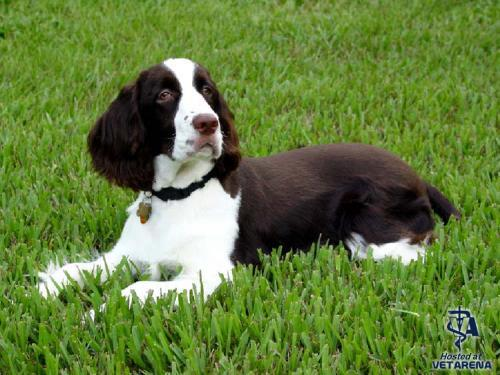 English Springer Spaniel breed Photo