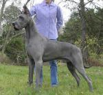 Great Dane breed Photos