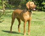 Vizsla breed Photos