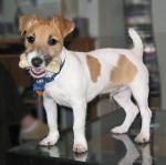 Jack Russell Terrier , Parson Russell Terrier breed Photos