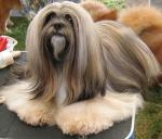 Lhasa Apso breed Photos