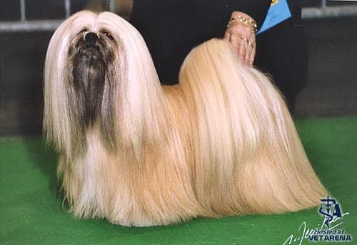 Lhasa Apso breed Photo