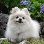 Pomeranian breed Photos