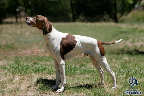 Pointer breed Photo