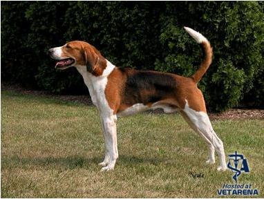 American Foxhound breed Photo