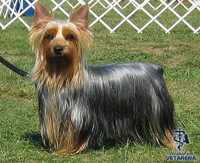Silky Terrier breed Photo