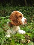 Welsh Springer Spaniel breed Photos