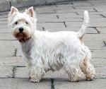 West Highland White Terrier breed Photos