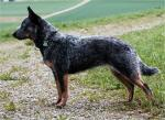 Australian Cattle Dog breed Photos