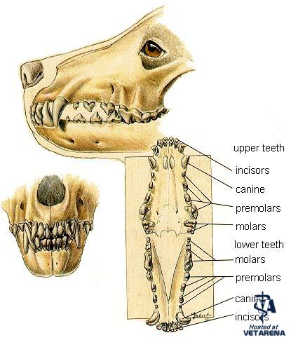 Basic information about Dog's teeth