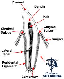 Oral and Dental Anatomy of Dogs, Cats, and Ferrets