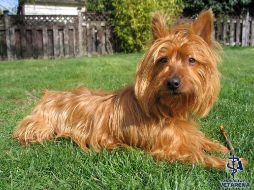 Australian Terrier breed Photo