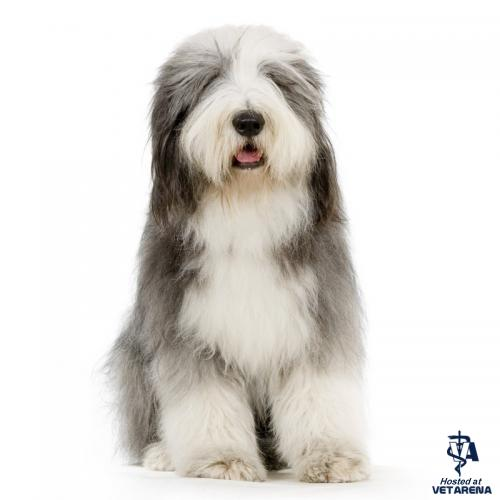 Bearded Collie breed Photo