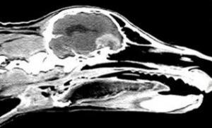 Brain Tumor in Dogs , Diagnosis , Symptoms and Treatment