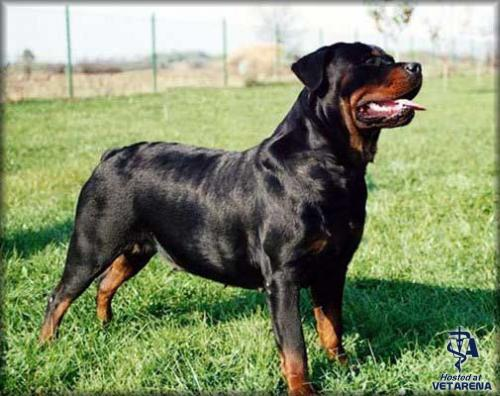 Rottweiler dog breed photos
