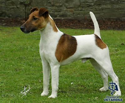 Smooth Fox Terrier breed Photo