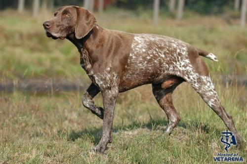 German Shorthaired Pointer breed Photo