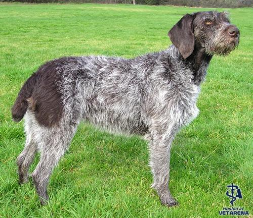 German Wirehaired Pointer breed Photo