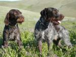 German Wirehaired Pointer breed Photos