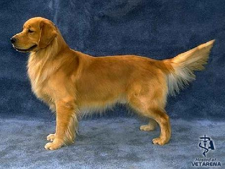 Golden Retriever breed Photo