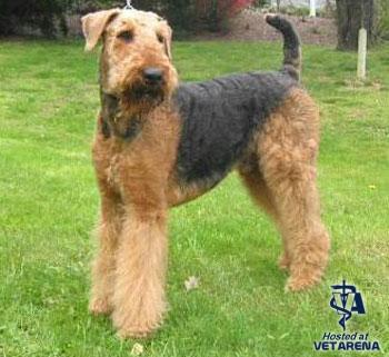 Airdale Terrier dog