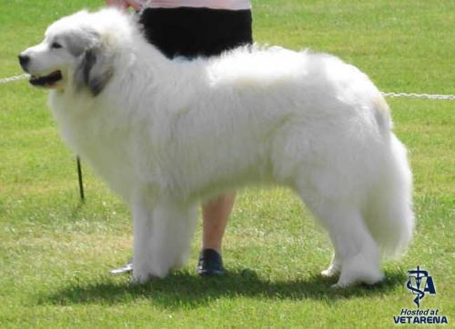 Great Pyrenees breed Photo