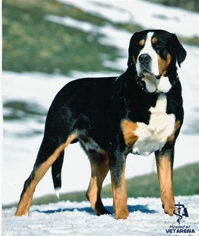 Greater Swiss Mountain Dog breed Photo