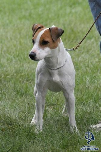 Jack Russell Terrier , Parson Russell Terrier