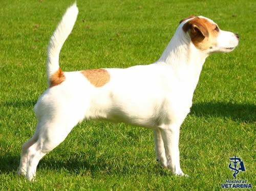 Jack Russell Terrier , Parson Russell Terrier breed Photo