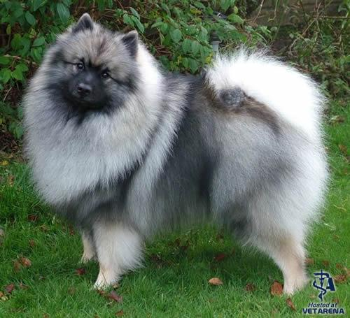 Keeshond breed Photo