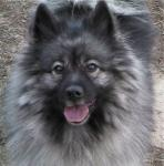 Keeshond breed Photos