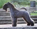 Kerry Blue Terrier breed Photos