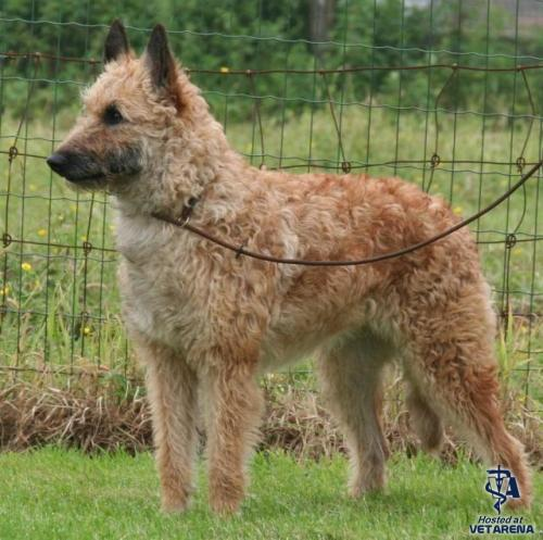 Belgian Shepherd Laekenois breed Photo