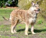 Belgian Shepherd Laekenois breed Photos