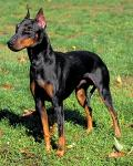 Manchester Terrier breed Photos