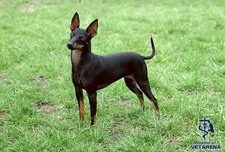 Toy Manchester Terrier breed Photo