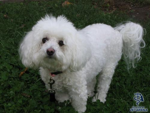 Bichon Frise breed Photo