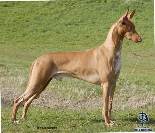 Pharaoh Hound breed Photo
