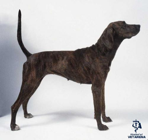 Plott Hound breed Photo