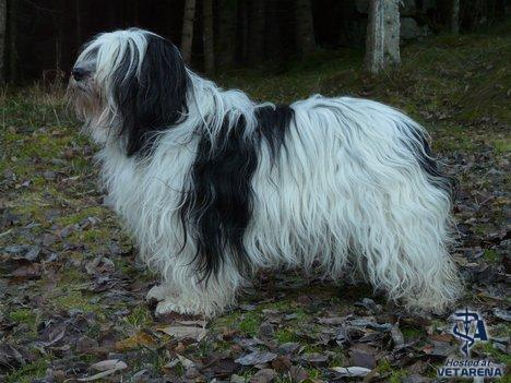 Polish Lowland Sheepdog (Polish Owczarek Nizinny) breed Photo