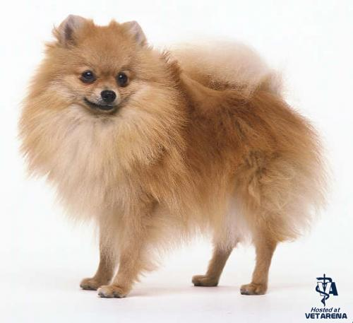 Pomeranian breed Photo