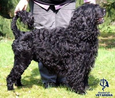 Portuguese Water Dog breed Photo