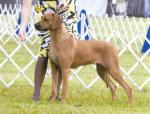 Rhodesian Ridgeback breed Photos