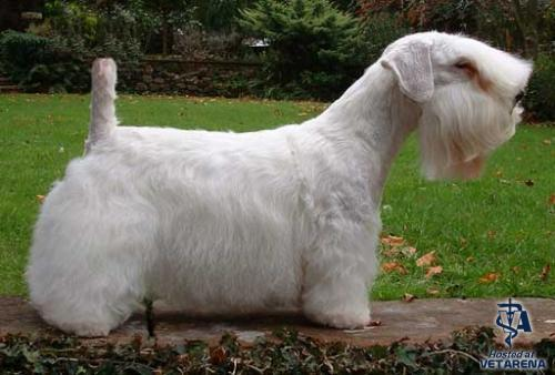 Sealyham Terrier breed Photo