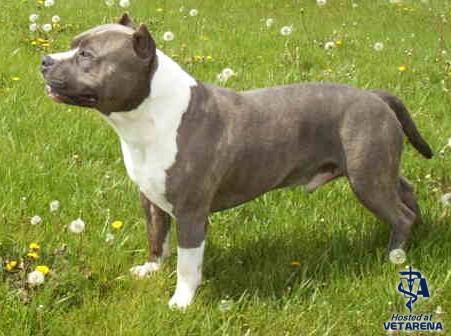 Staffordshire Bull Terrier breed Photo