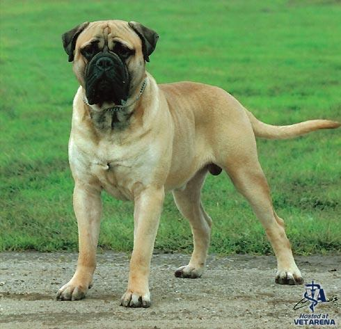 Bullmastiff breed Photo